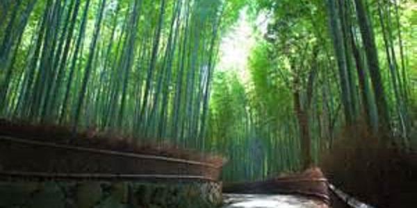 Kyoto Arashijama forest